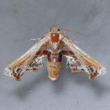 8968 Beautiful Eutelia - Eutelia pulcherrima