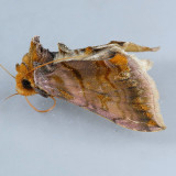 8898  Unspotted Looper - Allagrapha aerea
