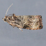2776.85  Olethreutes sp. nr. furfuranum