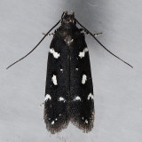 2187  Six-spotted Aroga Moth -  Aroga compositella