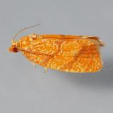 3621 Four-lined Leafroller – Argyrotaenia quadrifasciana