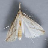 5319  Long-beaked Donacaula – Donacaula longirostrallus