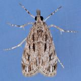 4738  Striped Eudonia  – Eudonia strigalis