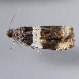 2823 Olethreutes fasciatana