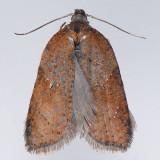 3527  Schaller's Acleris Moth - Acleris schalleriana