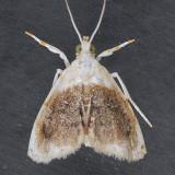 4888 Sooty Lipocosmodes - Lipocosmodes fuliginosalis