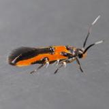 1467  Kermes Scale Moth – Euclemensia bassettella