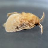 4644 Black-waved Flannel Moth ?? - Lagoa
