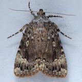 9638 Copper Underwing Moth - Amphipyra pyramidoides