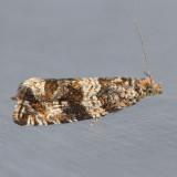 2859 Celypha Moth  – Celypha cespitana