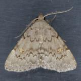 8323 Common Idia - Idia aemula