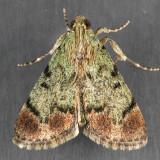 5577 Dimorphic Macalla - Macalla superatalis