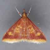 5071 Mint-loving Pyrausta  – Pyrausta acrionalis