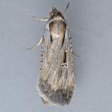 8466  Alfalfa Looper - Tathorhynchus exsiccata