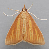 4937 Streaked Orange Moth - Nascia acutella