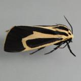8170 Banded Tiger  – Apantesis vittata
