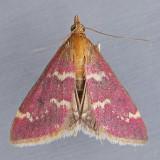 5034 Raspberry Pyrausta - Pyrausta signatalis