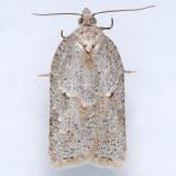 3540  Black-headed Birch Leaffolder - Acleris logiana