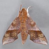 7886 Azalea Sphinx - Darapsa choerilus