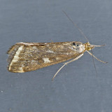 5004 Beet Webworm Moth - Loxostege sticticalis