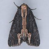 9560 American Bird's-Wing - Dypterygia rozmani
