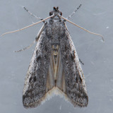 5965  Baphala pallida