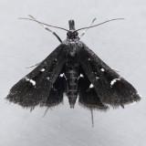5173  Diasemiodes nigralis