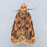 5518 Grease Moth - Aglossa cuprina