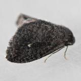 4701 Planthopper Parasite - Fulgoraecia exigua
