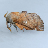 7686 Southern Lappet Moth - Phyllodesma occidentis
