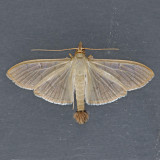 5215 The Alamo Moth – Condylorrhiza vestigialis