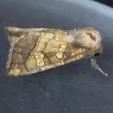 9466 Burdock Borer – Papaipema cataphracta