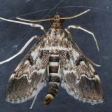 5156.5  Duponchelia fovealis