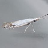 1256  Coleophora tiliaefoliella