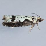 3273  Filigreed Moth - Chimoptesis pennsylvaniana