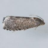 3426 Oriental Fruit Moth - Grapholita molesta