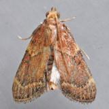 5526  Red-shawled Moth -Pseudasopia intermedialis