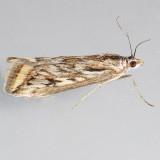 5017  Alfalfa Webworm Moth – Loxostege cereralis