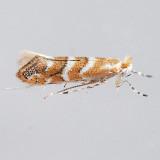 811 Pecan Leafminer Moth - Cameraria caryaefoliella