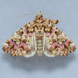 9631 Pink-Shaded Fern Moth – Callopistria mollissima