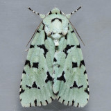 9281 Green Marvel - Agriopodes fallax
