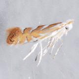 734 Phyllonorycter argentinotella