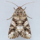 10317 Capsule Moth – Hadena capsularis