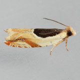 3367 Oak Leaffolder - Ancylis burgessiana