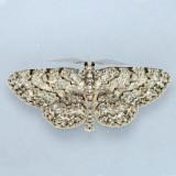 6439 Umber Moth - Hypomecis umbrosaria