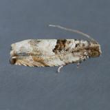 3226 Cottonwood Twig Borer Moth – Gypsonoma haimbachiana