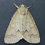 9208 Birch Dagger - Acronicta betulae
