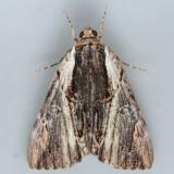8857 Ultronia Underwing - Catocala ultronia