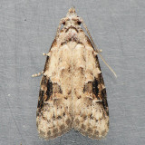 2314 Peach Fruit Moth - Carposina ottawana
