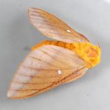 7720  Peigler's Oakworm Moth - Anisota peigleri